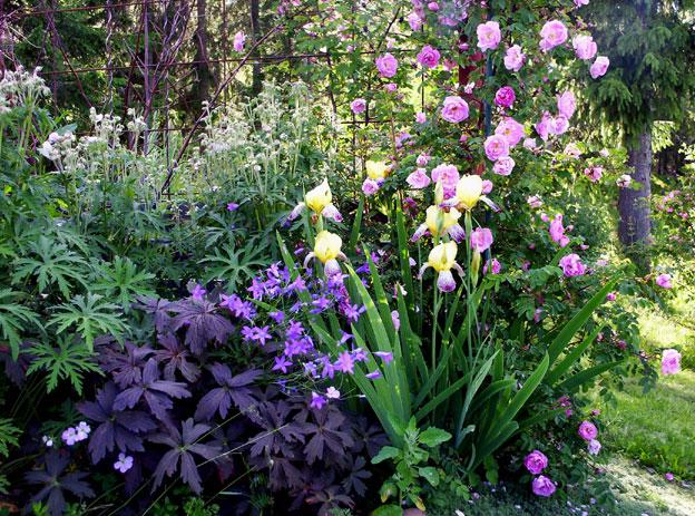 I rosenträdgården.Gul iris,mörkbladig näva, rosen rosa pimpinella 'Poppius'.